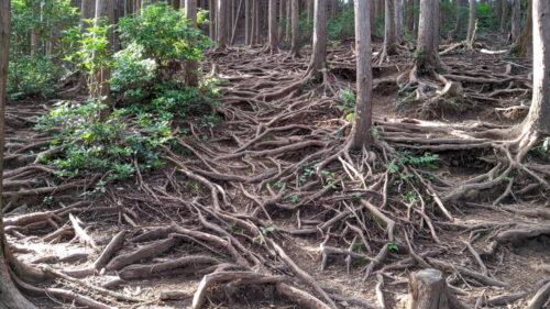 下山道の木の根